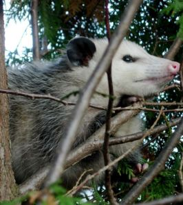 Fun facts about possums